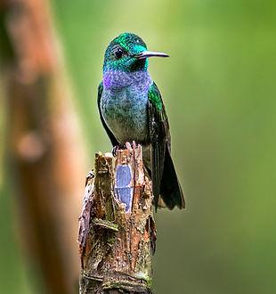 Panamá 51-Portada-Blue-chested Hummingbi