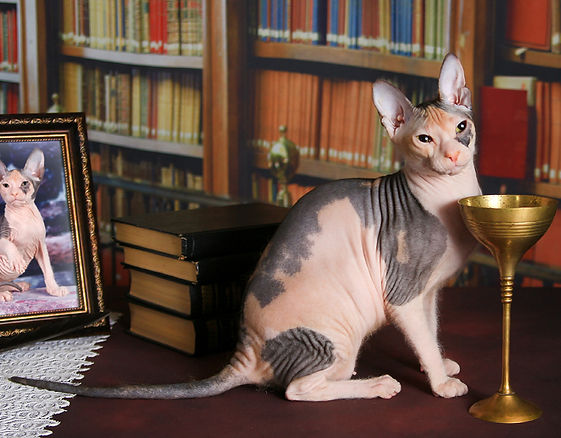 Голый кот, донской сфинкс питомник Волгоград купить, кошка порода сфинкс, кошка донской сфинкс цена, кошка порода сфинкс цена,