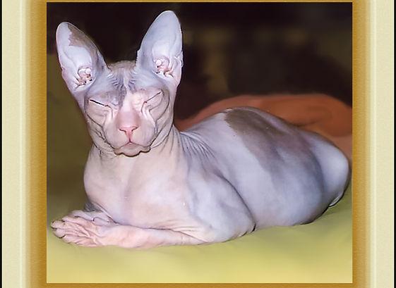 кошка порода сфинкс,