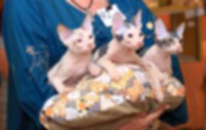 Кот Донской сфинкс