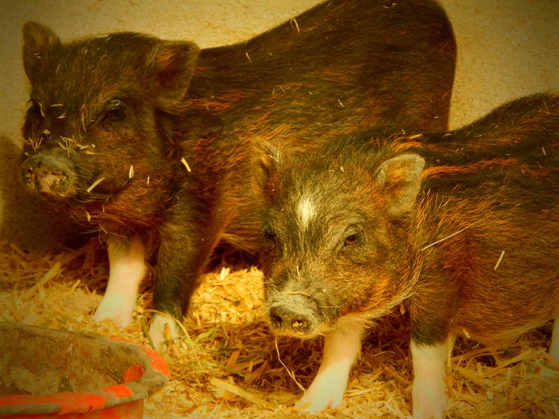 Cerdos Vietnamitas