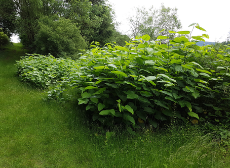 Using AI to detect Japanese Knotweed