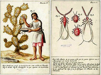 A book page with illustrations of the cochineal bug at different stages of life, and another illustration of someone harvesting the bugs from a cactus into a shallow dish.