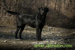 Black Labrador Amar Labradors
