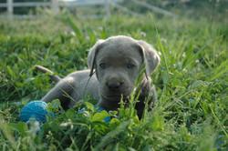 Silver Labrador Welpe