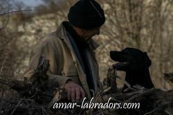 Schwarzer Labrador Amar Labradors