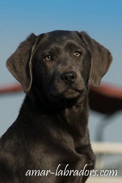 Charcoal Labrador Amar Labradors