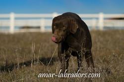 Chocolate Labrador Amar Labradors