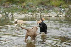 Amar Labrador Rudel