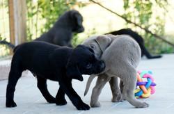 Schwarz Silver Labrador Welpen