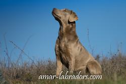 Silver Labrador Amar Labradors