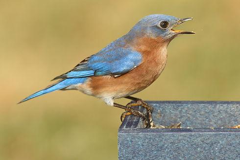 bluebird-purchased.jpg