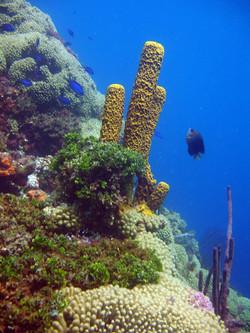 Giant Tube Sponge