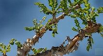 frankincense.treeWIX.jpg