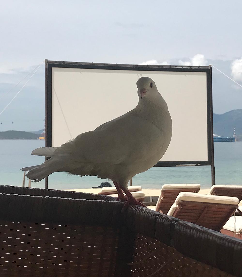 Pigeon_2