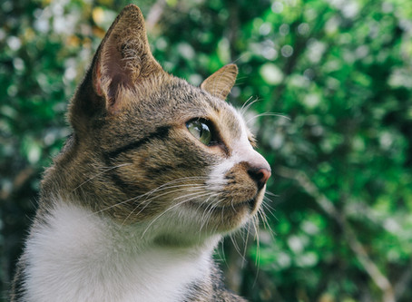 Cats can continue to go outdoors as normal - Covid-19 Pandemic