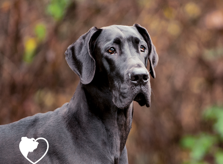 Dilated Cardiomyopathy (DCM) - Big dogs with big hearts ❤️