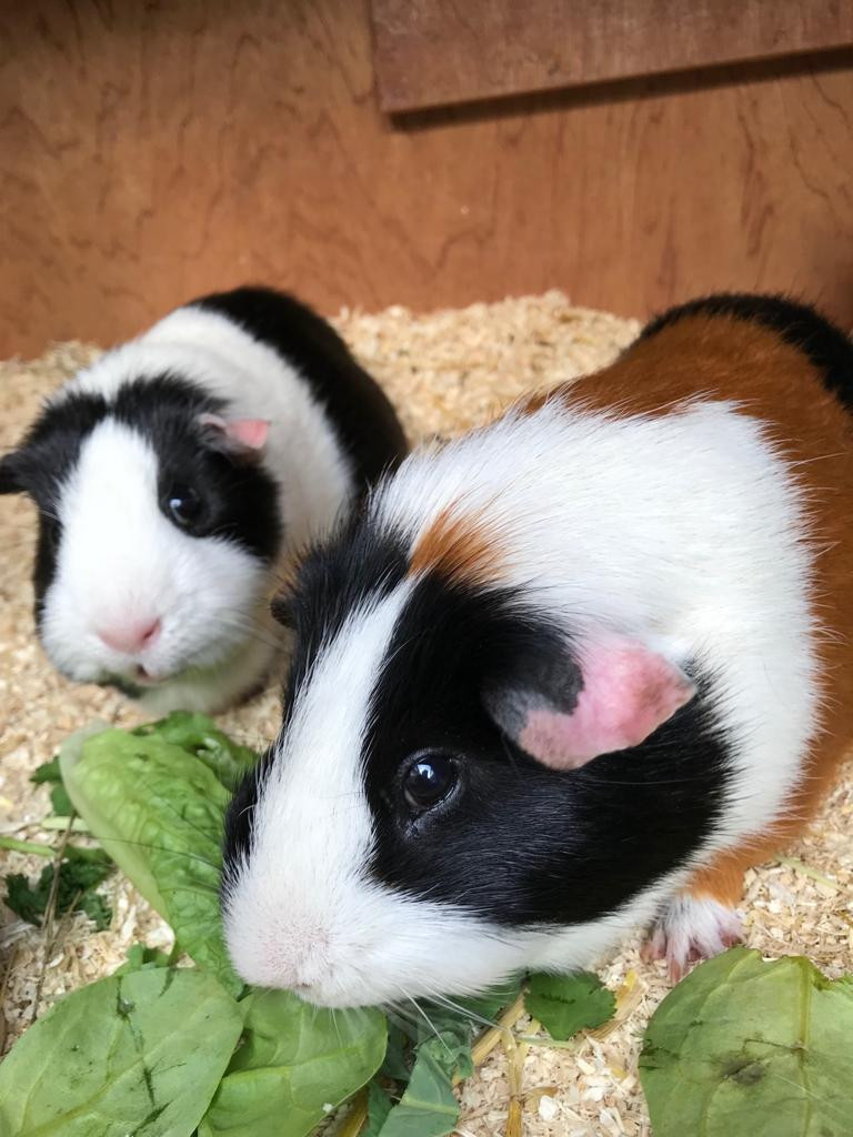 Guinea pigs enjoying a snack of herbs.