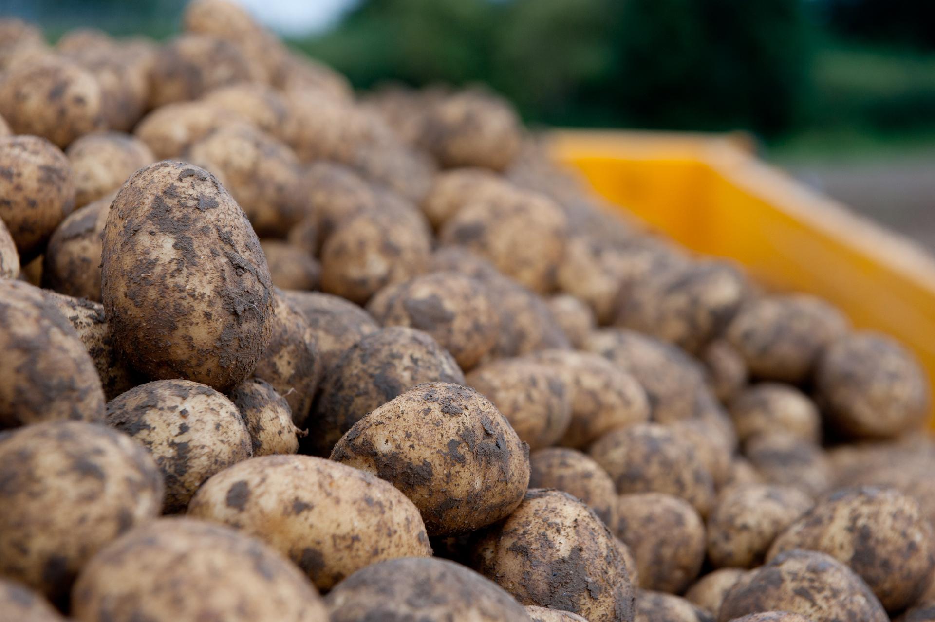 aardappel rooien_64