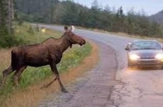 Dangerous Animal Collisions