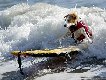 Meet Buddy the Surf Dog
