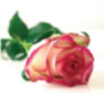 O-shot rose.PNG