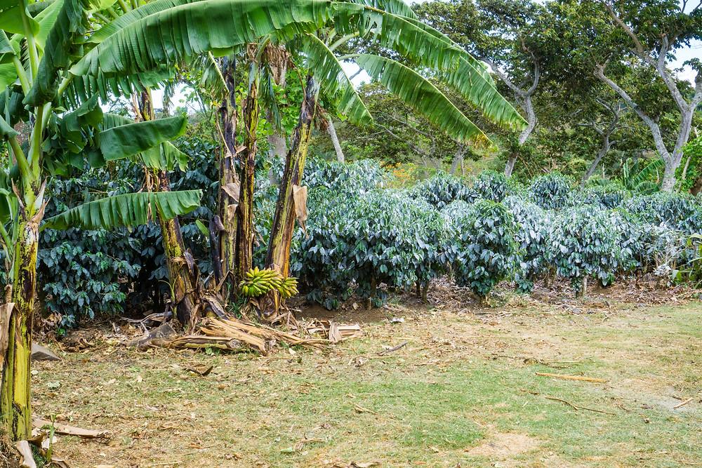 Banana & Plantain trees planted throughout the farm.