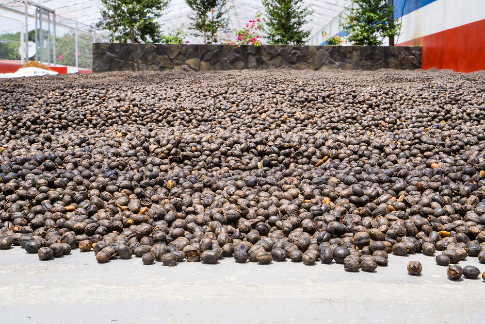 Natural processed coffee drying.