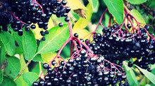 Elderberry elixir for good health and fighting winter colds