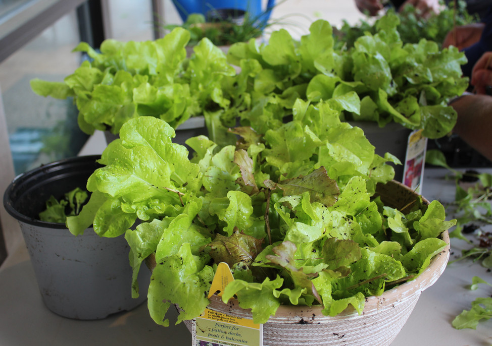 Container of lettuce starts