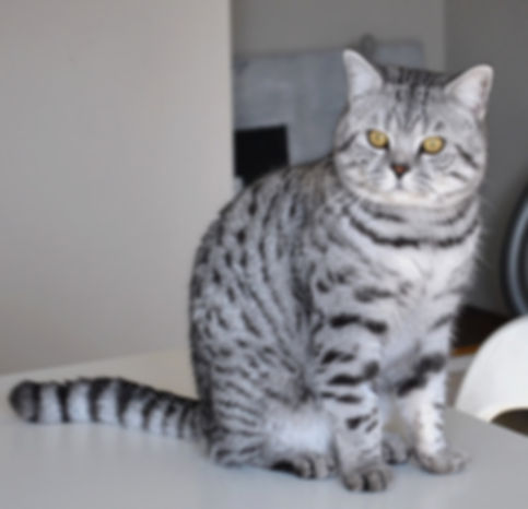 sargenta british shorthair black silver tabby spotted