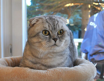 scottish fold black silver tabby spotted