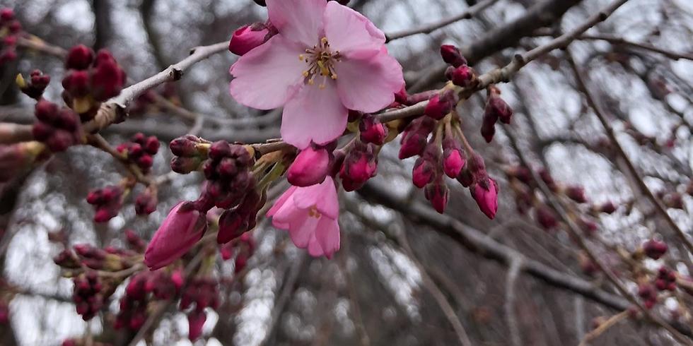 Cherry Blossoms & Prosecco