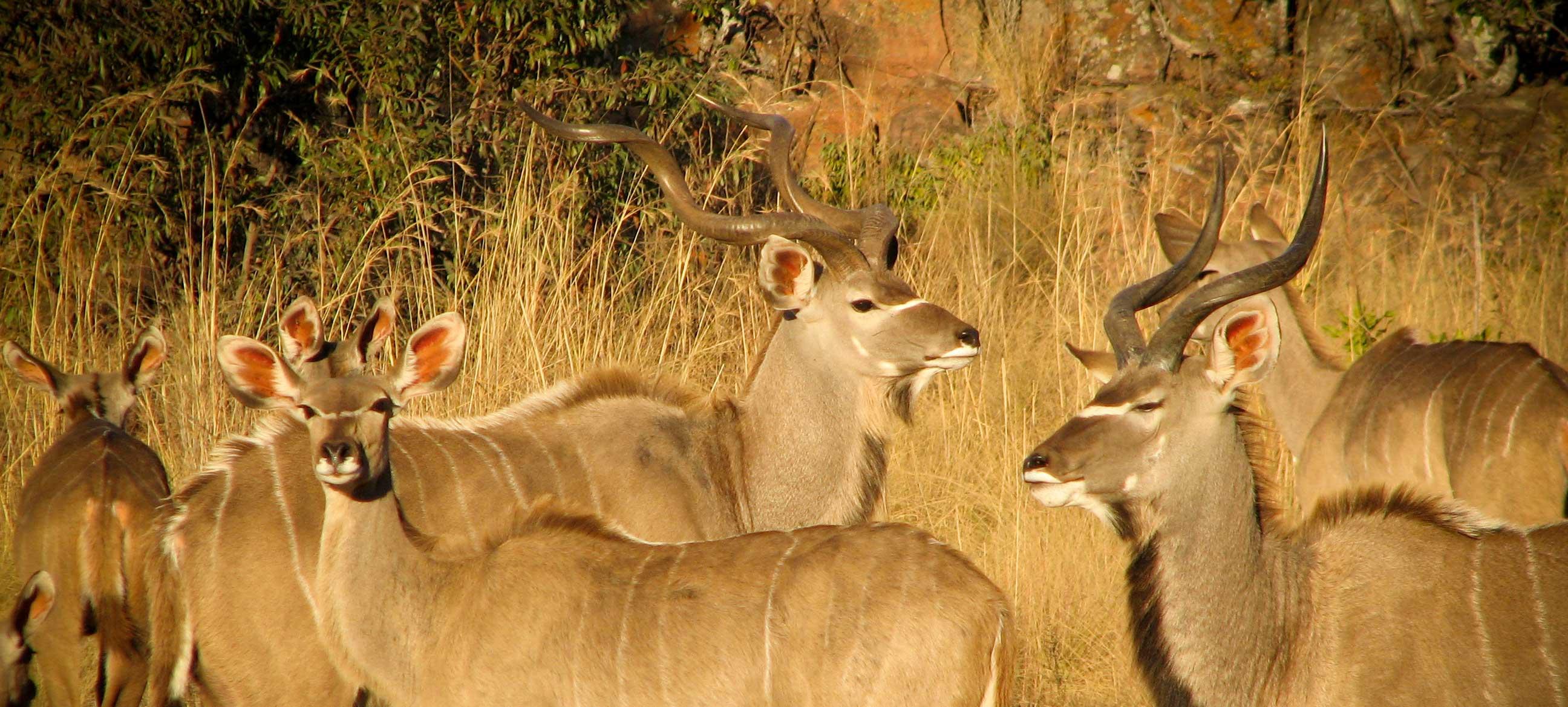 Kudu Herd 1