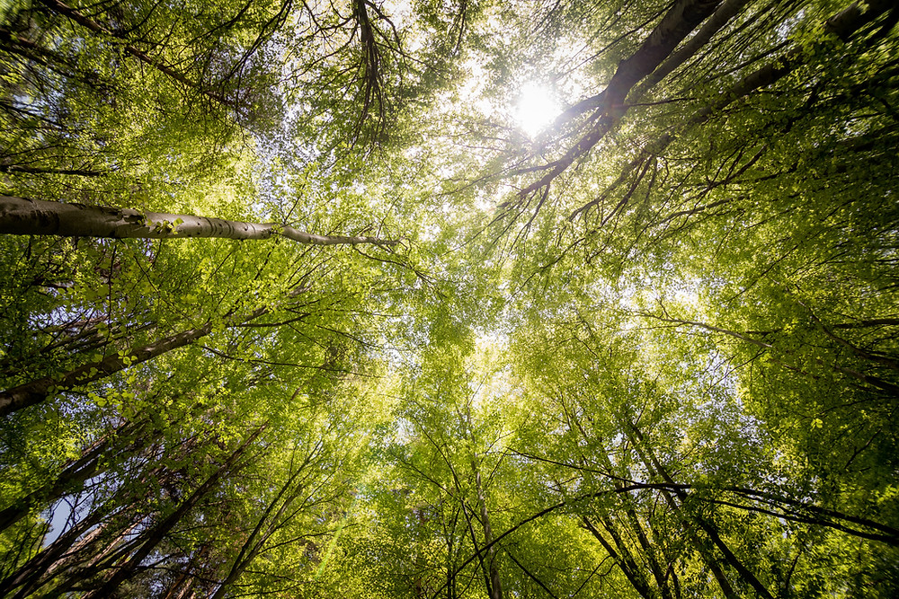 Sunlight shining through tall trees, from the ground