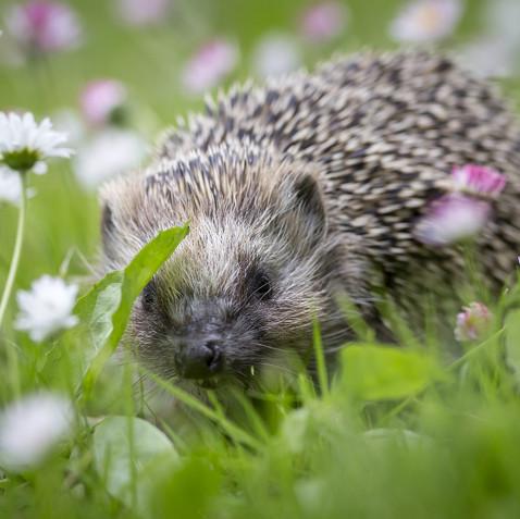 Western European Hedgehog