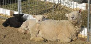 Sheep & lamb nap time.jpg