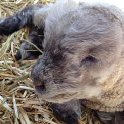 lamb sweet face.JPG