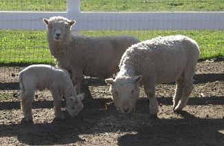 Sheep w-lamb.jpg