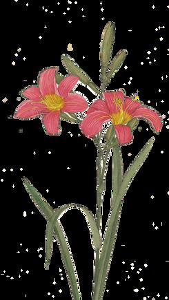 Päivänlilja