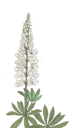 Komealupiini
