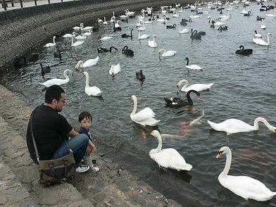 白鳥と常盤湖