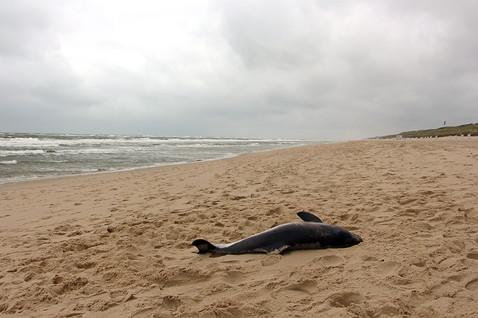 Schweinswal-Strandung
