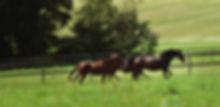 Gallopierende Herde auf der Weide