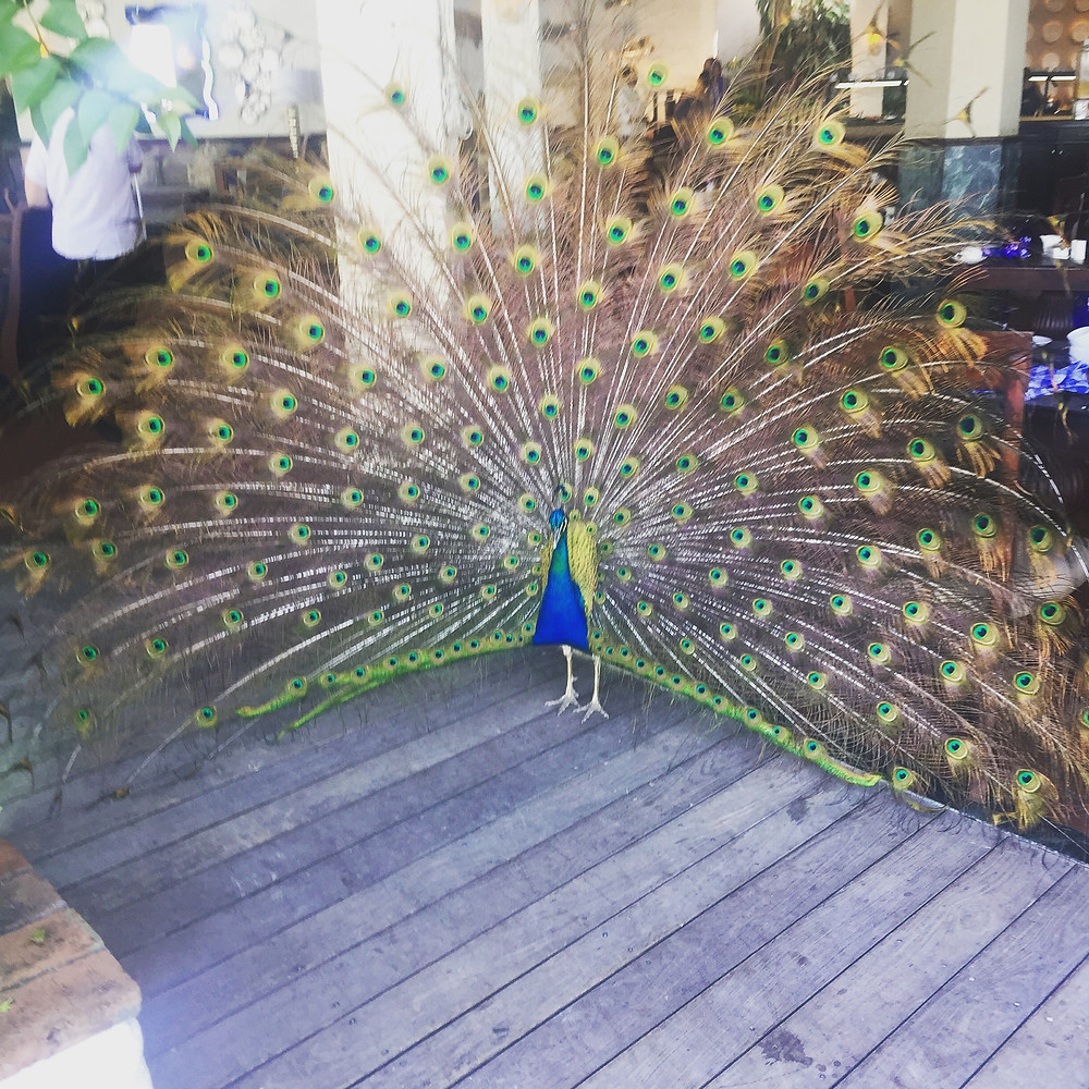 Hanging with the peacock at breakfast at Bayside
