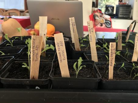 Premiers plants de salade dans la serre