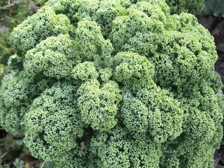 Kale ou chou plume