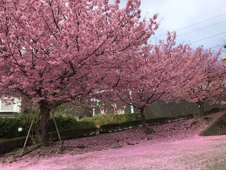 桜をみに行こう!