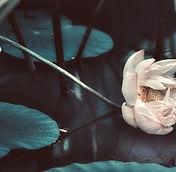 lotus-1107755-1024x682.jpeg