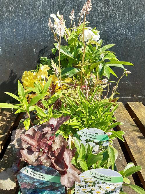 Perennial mixed tray x 12 PREMIUM